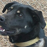 Adopt A Pet :: Sadie- German Shep- Lab mix - Gaffney, SC