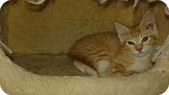 Domestic Shorthair Kitten for adoption in Harrisburg, Pennsylvania - Willow (baby girl)