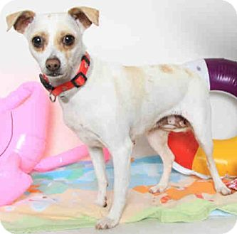 Jack Russell Terrier/Chihuahua Mix Dog for adoption in San Leandro, California - Abagail