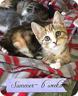 Domestic Shorthair Kitten for adoption in Island Park, New York - Summer