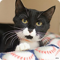 Domestic Shorthair Kitten for adoption in East Hartford, Connecticut - Peri