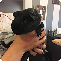 Guinea Pig for adoption in North Pole, Alaska - Sansa