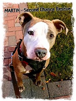 American Staffordshire Terrier Mix Dog for adoption in Whitestone, New York - Martin (Acc)