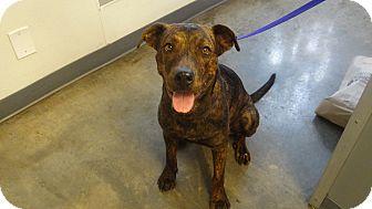 Shepherd (Unknown Type) Mix Dog for adoption in Tucson, Arizona - MAXINE