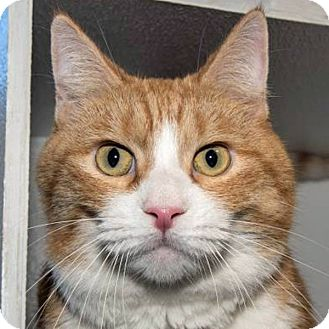 Domestic Shorthair Cat for adoption in Prescott, Arizona - Garfield