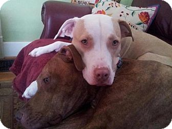 Pit Bull Terrier Mix Dog for adoption in Columbia, Tennessee - Jax/CP