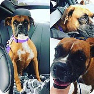 Boxer Dog for adoption in Austin, Texas - Brinkley