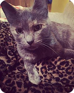 Domestic Shorthair Cat for adoption in Mt. Pleasant, Pennsylvania - Bella