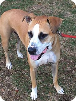 Boxer/Labrador Retriever Mix Dog for adoption in Berkeley Heights, New Jersey - Nacho
