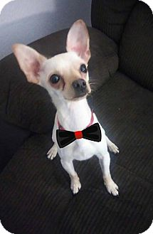 Chihuahua Mix Dog for adoption in Los Banos, California - Harley