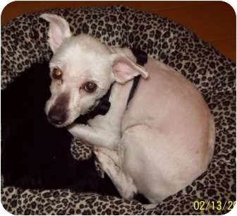 Maltese/Chihuahua Mix Dog for adoption in Tallahassee, Florida - Dandi Valentino