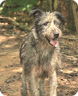 Gilbert | Adopted Dog | Hagerstown, MD | Airedale Terrier ...