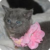 Adopt A Pet :: Violet - Island Park, NY