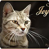 Domestic Mediumhair Cat for adoption in Fort Mill, South Carolina - Joy 4677M