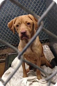 Bloodhound/Shar Pei Mix Dog for adoption in Slidell, Louisiana - Matilda