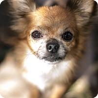 Adopt A Pet :: Armando Armadillo - Los Angeles, CA