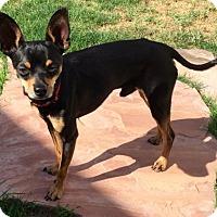 Adopt A Pet :: BRUISER - Chandler, AZ