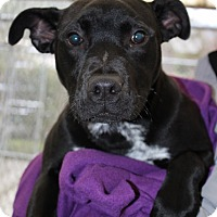 Adopt A Pet :: Giblet - Grants Pass, OR