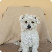 Adopt A Pet :: BRUNO 5 - Chandler, AZ