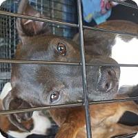 Adopt A Pet :: Burke - Albany, NY