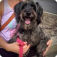 Adopt A Pet :: Phoebe - Memphis, TN
