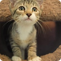 Domestic Shorthair Cat for adoption in Gainesville, Florida - Minka
