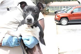 Pit Bull Terrier Mix Puppy for adoption in Greensboro, North Carolina - Jordina