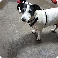 Fox Terrier (Smooth) Mix Dog for adoption in Pottsville, Pennsylvania - Snoop dog