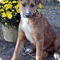 Adopt A Pet :: SHANTERA - Westminster, CO