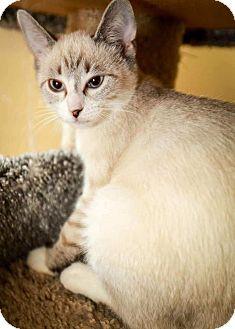 Siamese Kitten for adoption in Trevose, Pennsylvania - Lightening