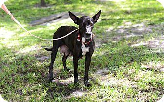 German Shepherd Dog/Hound (Unknown Type) Mix Dog for adoption in Jupiter, Florida - Apple