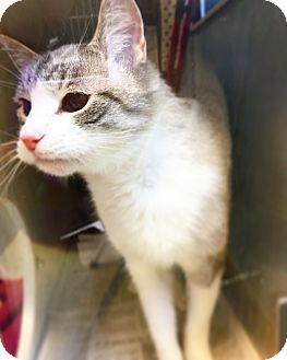 Siamese Cat for adoption in Indianapolis, Indiana - Pete