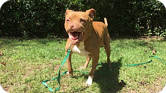 Pit Bull Terrier Mix Dog for adoption in Okatie, South Carolina - OTTO