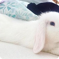 Lop, Holland Mix for adoption in Williston, Florida - Philly