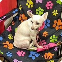 Chihuahua Dog for adoption in Rochester, New York - Rosie