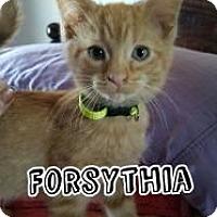 Domestic Shorthair Kitten for adoption in Greensburg, Pennsylvania - Forsythia
