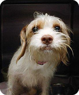 Cocker Spaniel/Terrier (Unknown Type, Medium) Mix Dog for adoption in Fort Madison, Iowa - Athena (the Cocker Spaniel)