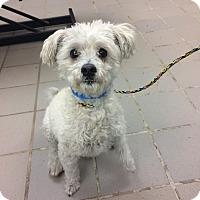 Adopt A Pet :: Noelle - University Park, IL