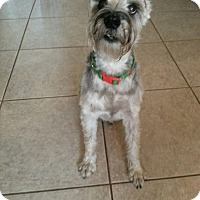 Adopt A Pet :: Scotty - Riverview, FL