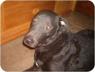Curly-Coated Retriever/Labrador Retriever Mix Dog for adoption in North Jackson, Ohio - Logan