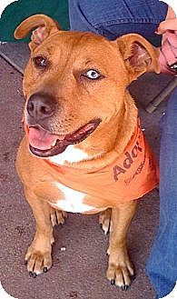 Australian Shepherd/Rhodesian Ridgeback Mix Dog for adoption in Porter Ranch, California - Bloo