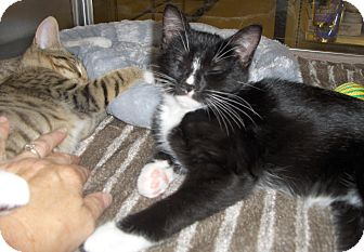 Domestic Shorthair Kitten for adoption in Richmond, Virginia - Chip