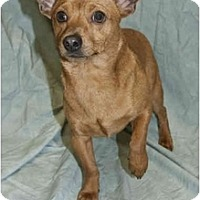 Dachshund Mix Dog for adoption in Colton, California - Maxillion