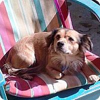Adopt A Pet :: ANYA - Encino, CA