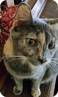 Domestic Shorthair Cat for adoption in Orlando-Kissimmee, Florida - Chloe