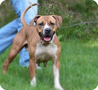 American Staffordshire Terrier/Hound (Unknown Type) Mix Dog for adoption in Yonkers, New York - Gem