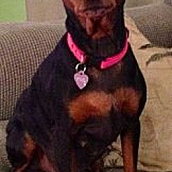 Photo 3 - Miniature Pinscher Dog for adoption in Tustin, California - Dutchess