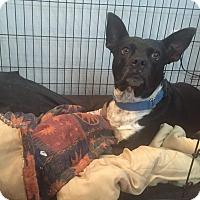Adopt A Pet :: Fiona - Rancho Cucamonga, CA