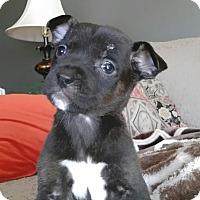 Adopt A Pet :: Nica - Westminster, CO