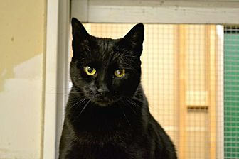 Domestic Shorthair Cat for adoption in Saginaw, Michigan - Lucky